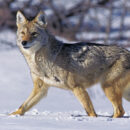 Coyote, Adult standing on Snow,