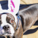 Dog with Bunny Ears at Hound Egg Hunt